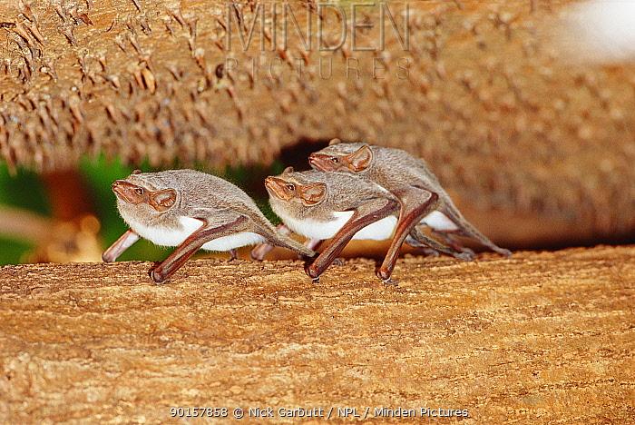 Mauritian tomb bats roosting (Taphozous mauritianus) Ampijora forest, W Madagascar  -  Nick Garbutt/ npl