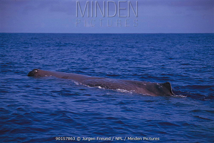 Sperm whale at surface (Physester macrocephalus) Indonesia  -  Jurgen Freund/ npl
