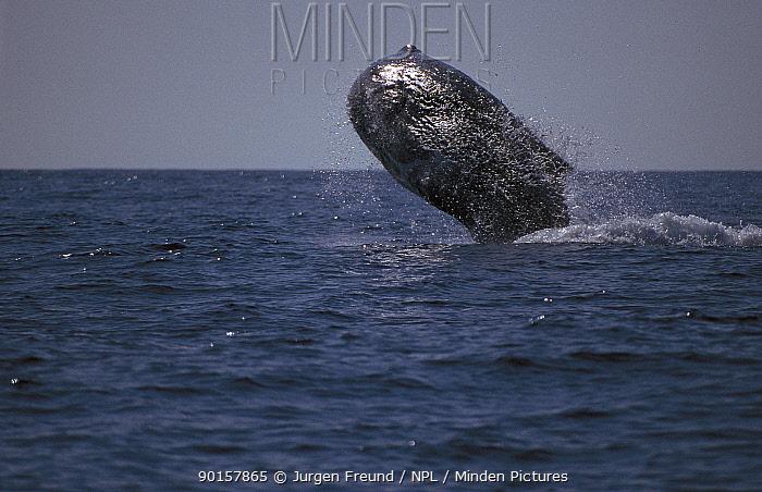 Sperm whale breaching (Physester macrocephalus) Indonesia  -  Jurgen Freund/ npl