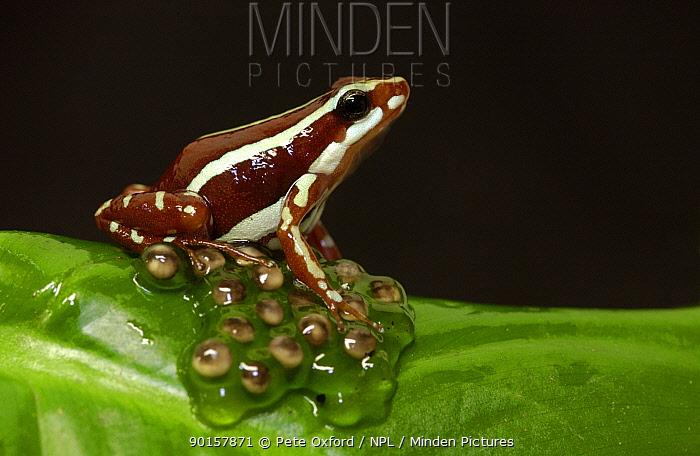 Poison arrow frog guarding its eggs (Epipedobates tricolor) Ecuador  -  Pete Oxford/ npl