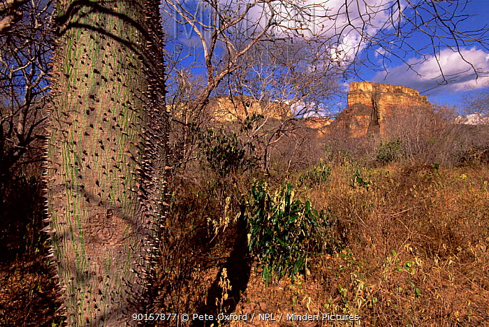 Tree with swollen trunk for water storage, Caatinga habitat, Brazil  -  Pete Oxford/ npl