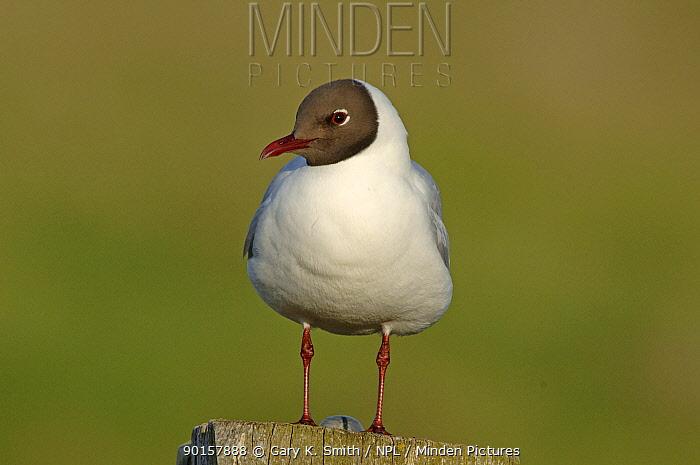 Black headed gull (Larus ridibundus) in breeding plumage, Norfolk, UK  -  Gary K. Smith/ npl