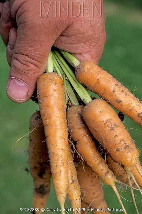 Organic Carrots (Daucus carota) in hand of gardener, UK  -  Gary K. Smith/ npl
