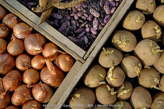 Runner Bean seeds (Phaseolus coccineus), seedling potatoes (Solanum tuberosum) and shallots (Allium genus) UK  -  Gary K. Smith/ npl
