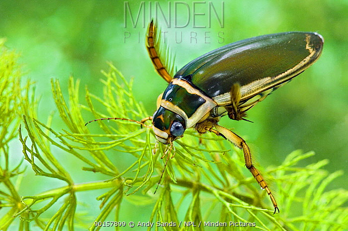 Male Great Diving Beetle (Dytiscus marginalis) Captive  -  Andy Sands/ npl