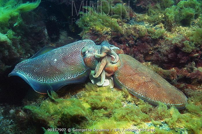 Giant cuttlefish (Sepia apama) mating Spencer Gulf, Wayalla, South Australia  -  Georgette Douwma/ npl