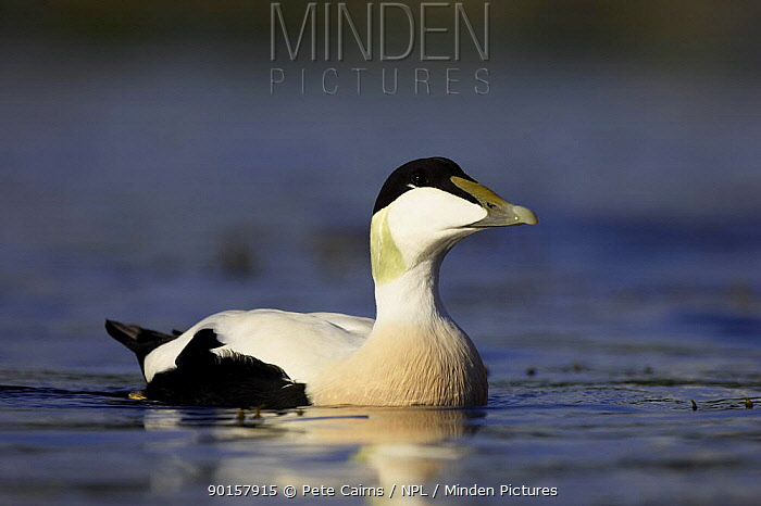 Eider (Somateria mollissima) adult male duck in breeding plumage, Nord-Trondelag, Norway  -  Pete Cairns/ npl