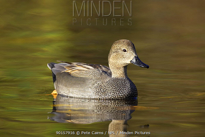 Gadwall (Anas strepera) male duck on pond, Martin Mere WWT, Lancashire, UK  -  Pete Cairns/ npl