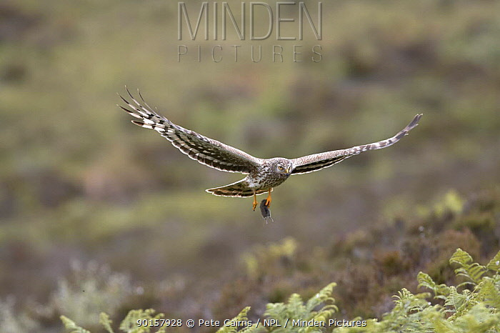 Hen harrier (Circus cyaneus) adult female bringing Shrew prey to nest, Sutherland, Scotland, UK  -  Pete Cairns/ npl