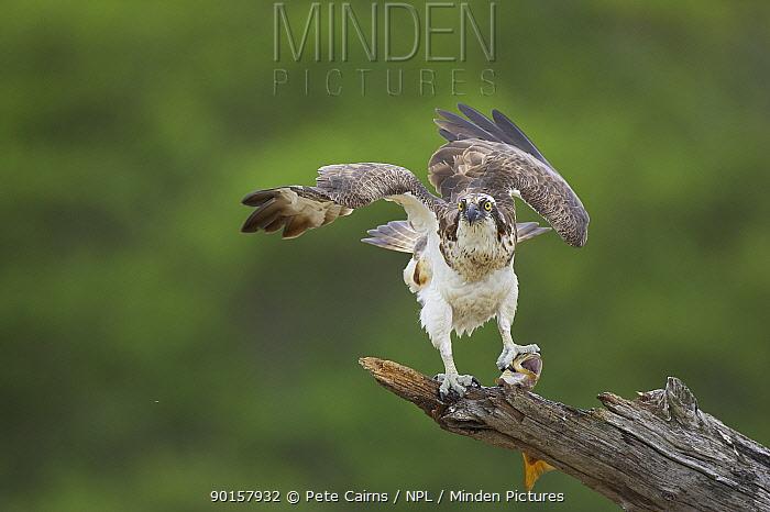 Osprey (Pandion haliaetus) adult male with fish prey, Cairngorms National Park, Scotland, UK  -  Pete Cairns/ npl