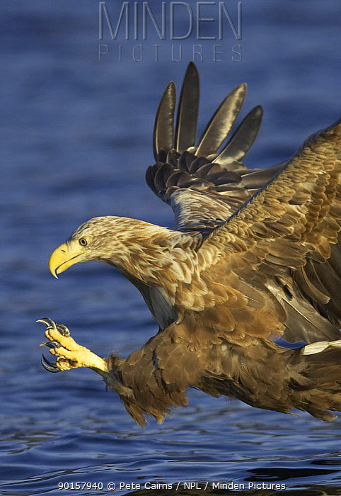 Sea eagle (Haliaeetus albicilla) in flight stooping for fish, Flatanger, Norway  -  Pete Cairns/ npl