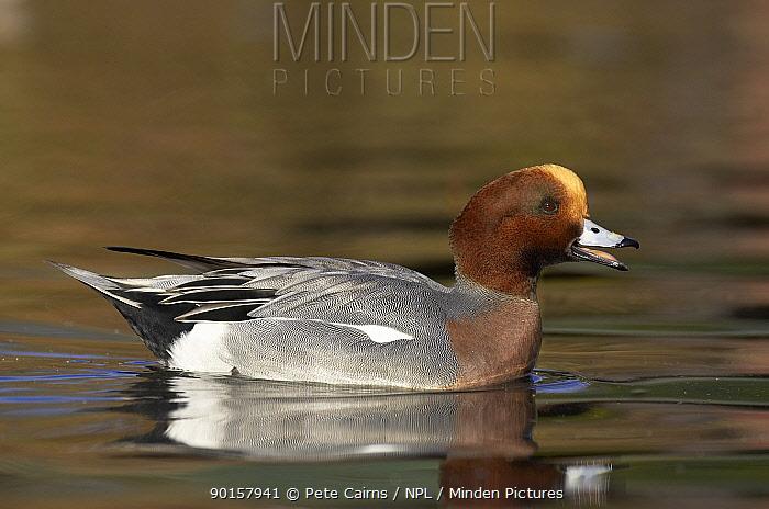 Wigeon (Anas penelope) male duck calling, Lancashire, UK  -  Pete Cairns/ npl