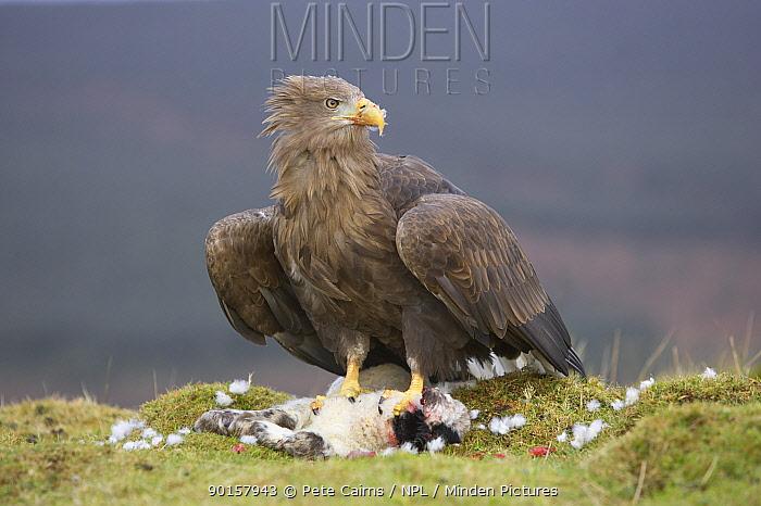 White tailed sea eagle (Haliaeetus albicilla) adult feeding on dead lamb, Mull, Argyll, Scotland, UK, captive  -  Pete Cairns/ npl