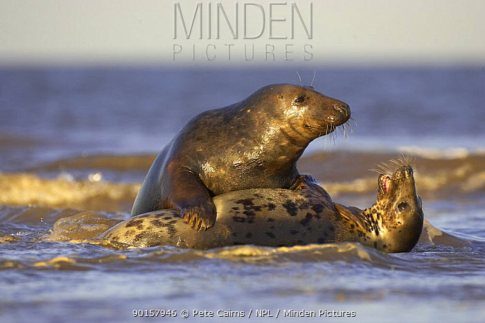 Grey Seal (Halichoerus grypus) pair of sub-adults playing in surf, Lincolnshire, UK  -  Pete Cairns/ npl
