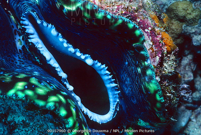 Close up of inhalent syphon of Giant clam (Tridacna gigas) Great Barrier Reef, Queensland, Australia  -  Georgette Douwma/ npl