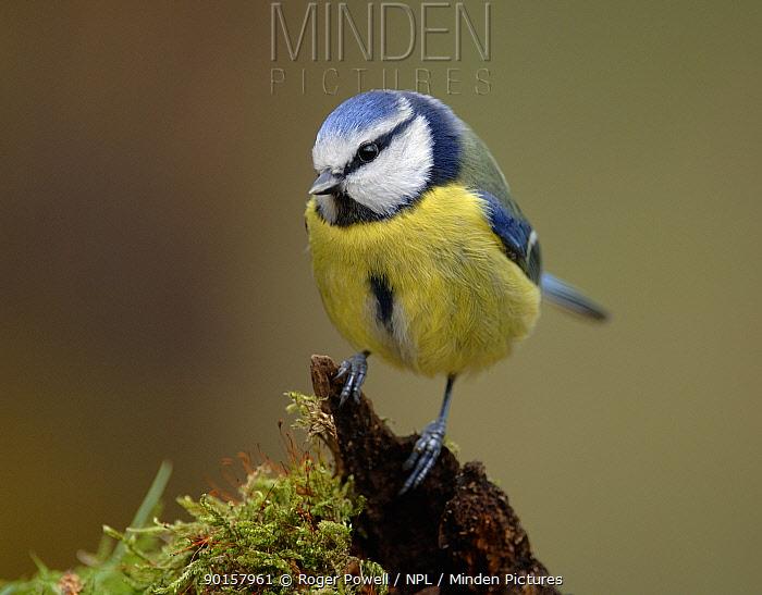 Blue Tit (Parus caeruleus) on mossy stump, Northumberland, UK  -  Roger Powell/ npl