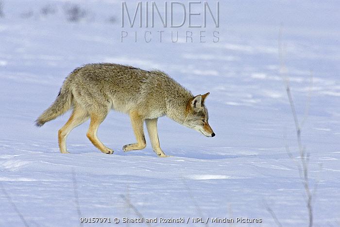 Coyote in Snow (Canis latrans) hunting in snow, Colorado, USA  -  Shattil & Rozinski/ npl