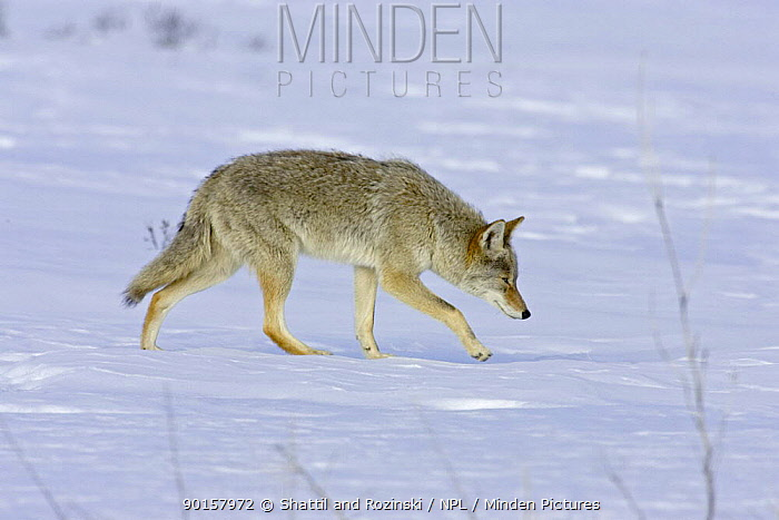 Coyote (Canis latrans) hunting in snow, Colorado, USA  -  Shattil & Rozinski/ npl