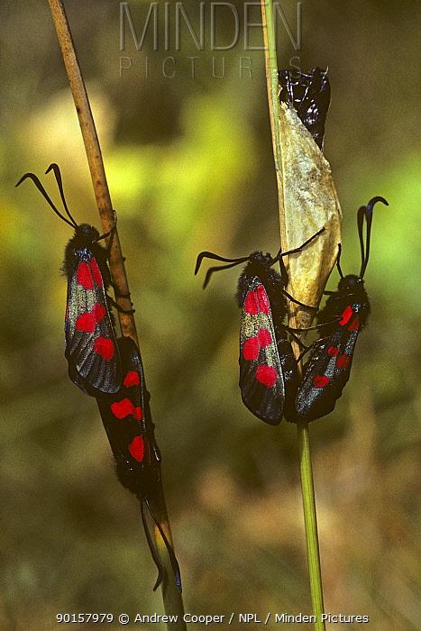 Six spot burnet moths (Zygaena filipendulae) adults mating on emergence from pupae, Wiltshire, UK  -  Andrew Cooper/ npl