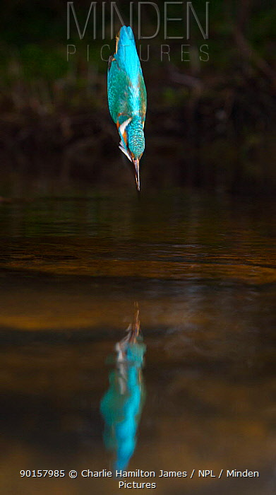 Common kingfisher (Alcedo atthis)adult male diving into water, England  -  Charlie Hamilton James/ npl