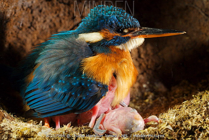 Common kingfisher (Alcedo atthis) female keeping 7 day chicks warm in nest, England  -  Charlie Hamilton James/ npl