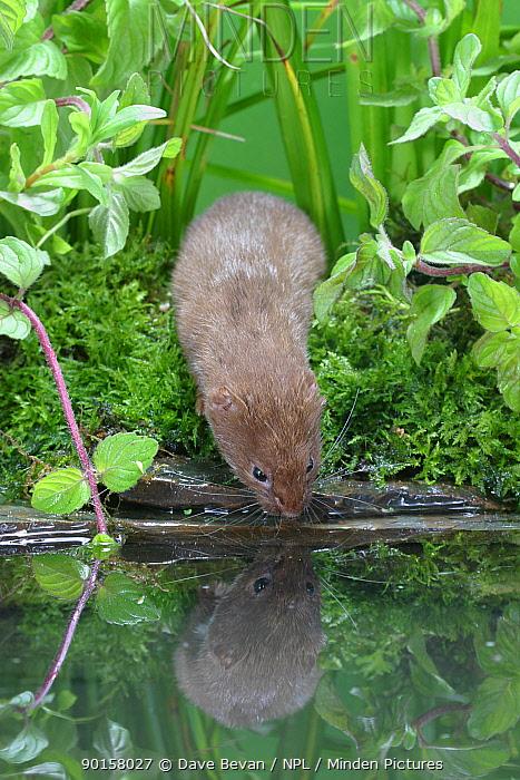 Weasel (Mustela nivalis) drinking from pond, Carmarthenshire, captive, Wales, UK  -  Dave Bevan/ npl