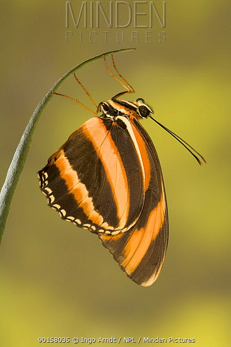 Banded orange heliconian butterfly (Dryadula phaetusa) South and Central America (captive)  -  Ingo Arndt/ npl