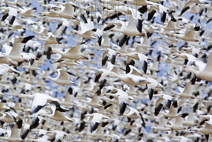 Large flock of Snow Geese (Anser caerulescens) flying, Bosque del Apache National Wildlife Refuge, New Mexico, USA  -  Ingo Arndt/ npl