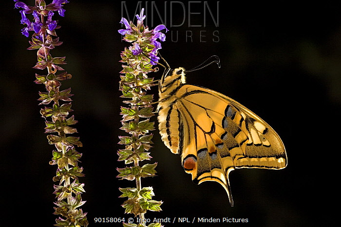 Swallowtail butterfly (Papilio machaon) with wings closed on flowers, Germany  -  Ingo Arndt/ npl