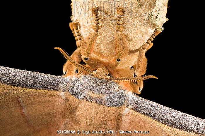 Close up of antennae of Japanese Oak Silkmoth (Antherea yamamai), Captive  -  Ingo Arndt/ npl