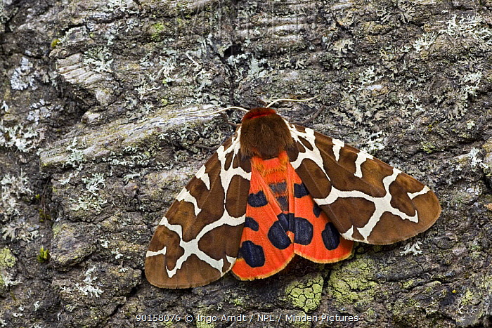 Garden tiger moth (Arctia caja) on tree trunk, Germany  -  Ingo Arndt/ npl