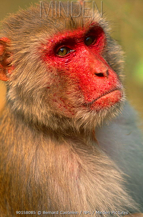 Rhesus macaque, male (Macaca mulatta) Keoladeo Ghana NP, Rajasthan, India  -  Bernard Castelein/ npl