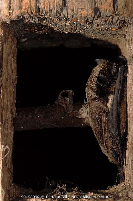 Particoloured bat roosting (Vespertilio murinus) Germany  -  Dietmar Nill/ npl