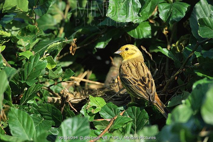 Yellowhammer at nest (Emberiza citrinella) Germany  -  Dietmar Nill/ npl