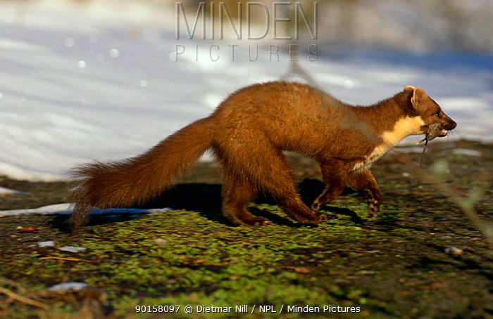 Pine marten (Martes martes) with rodent prey, Germany  -  Dietmar Nill/ npl