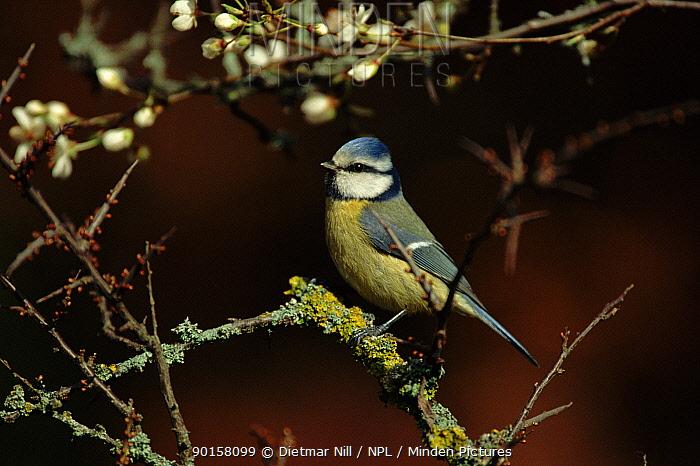 Blue tit (Parus caeruleus) Germany, Europe  -  Dietmar Nill/ npl