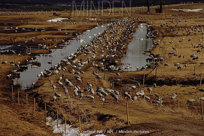 Common cranes (Grus grus) in field Hornborga sea, Sweden, Scandinavia, Europe  -  Dietmar Nill/ npl