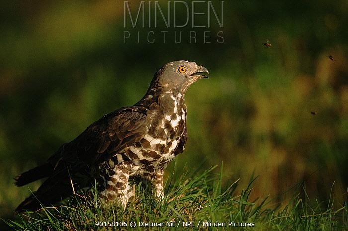 Honey buzzard (Pernis apivorus) Germany, Europe  -  Dietmar Nill/ npl