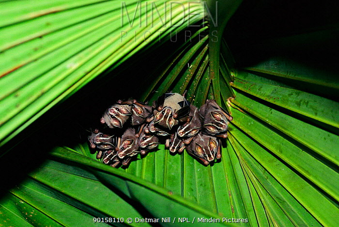 Tent building bats (Uroderma bilobatum) in palm leaf Panama, Central America  -  Dietmar Nill/ npl