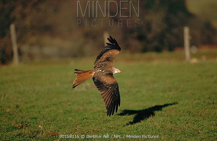 Red kite (Milvus milvus) in flight Germany, Europe  -  Dietmar Nill/ npl