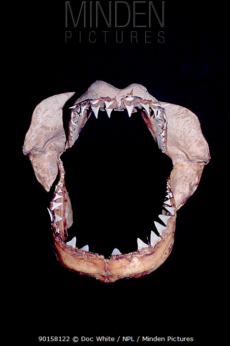 Jaws of Great white shark (Carcharodon carcharias)  -  Doc White/ npl