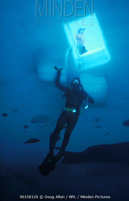 Diver under access hole that has been cut in the sea ice, Antarctica 1987  -  Doug Allan/ npl