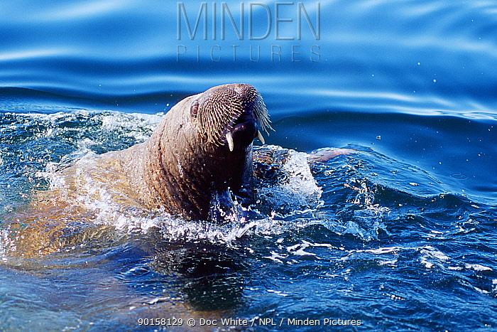 Atlantic walrus (Odobenus rosmarus) in sea, Northern Baffin Island, Canadian Arctic  -  Doc White/ npl