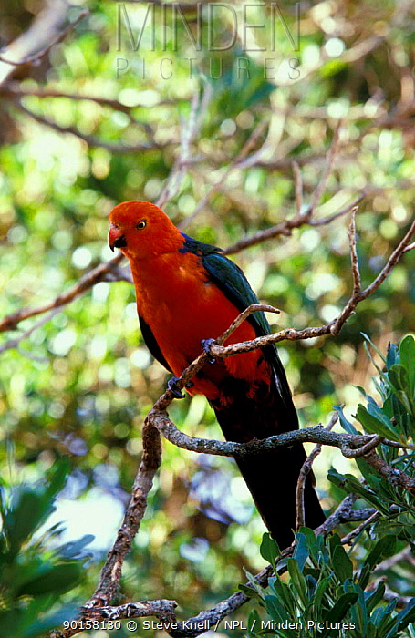 King parrot male (Alisterus scapularis) Australia  -  Steve Knell/ npl