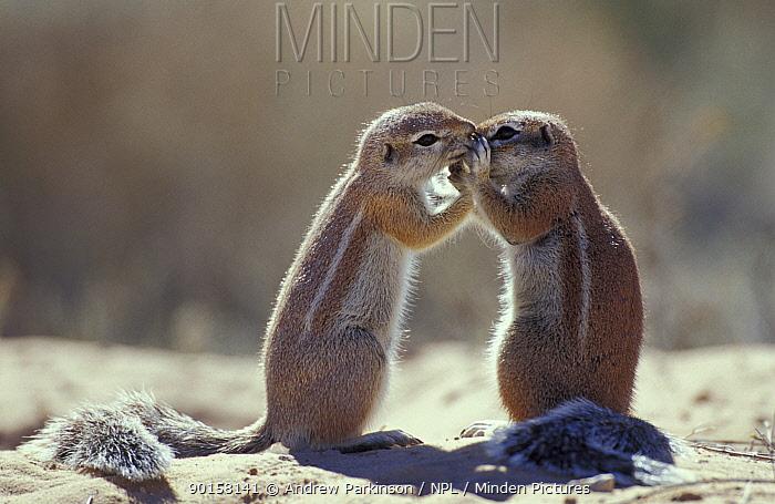 Cape ground squirrel 'kissing' (Xerus inauris) Kgalagadi TP, South Africa  -  Andrew Parkinson/ npl