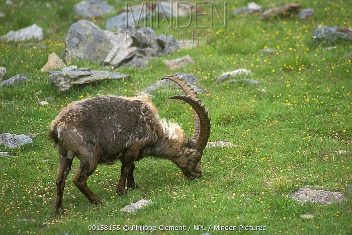 Ibex moulting (Capra ibex ibex) Gran Paradiso NP, Alps, Italy  -  Philippe Clement/ npl