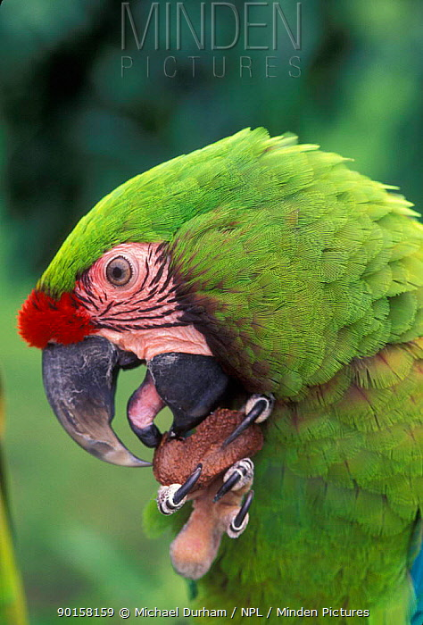 Military macaw feeding on nut from claw, note tongue (Ara militaris) captive, from South America  -  Michael Durham/ npl