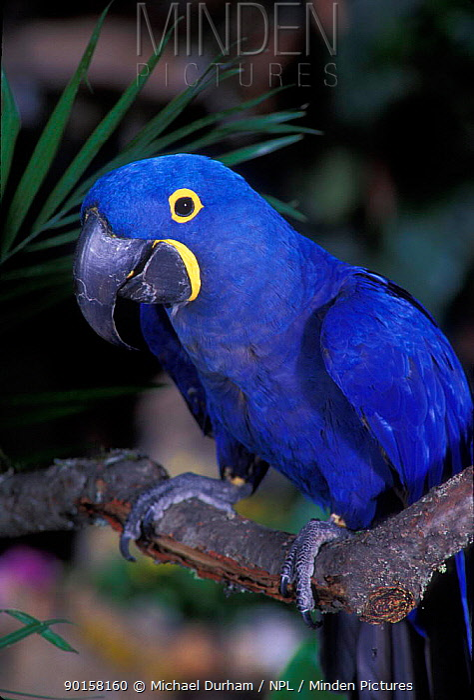 Hyacinth macaw portrait (Anodorhynchus hyacinthinus) captive, from South America  -  Michael Durham/ npl