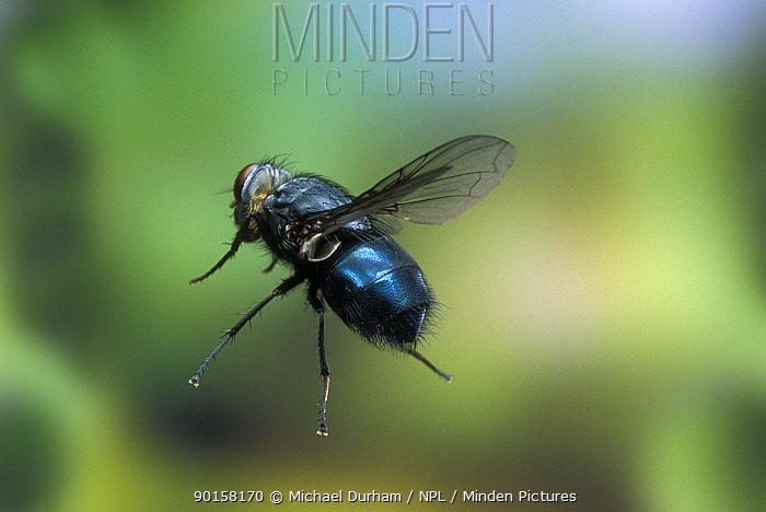 Blowfly in flight (Calliphoridae) Oregon, USA  -  Michael Durham/ npl