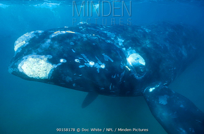 Southern right whale underwater (Balaena glacialis australis) Off coast of Argentina  -  Doc White/ npl